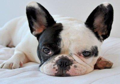 apartman için en iyi köpek cinsi