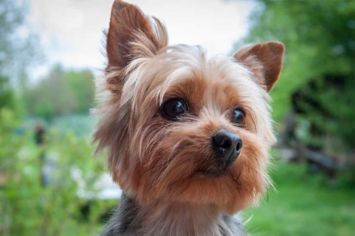 yorkshire Terrier bakımı ve özellikleri